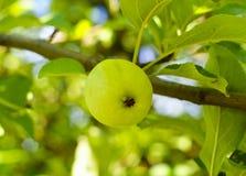 яблоко растя на ветви с зелеными листьями Стоковое Фото