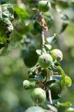 Яблоко растя на дереве в саде Яблоки на ветви Стоковая Фотография