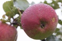 Яблоко с падениями росы стоковые фотографии rf