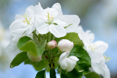 яблоко цветет белизна Красивые цветя яблони предпосылка с зацветать цветет весной день Стоковое Изображение RF
