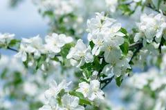 яблоко цветет белизна Красивые цветя яблони предпосылка с зацветать цветет весной день Стоковые Изображения
