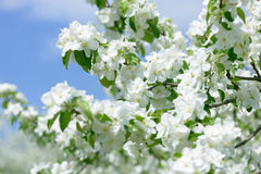 яблоко цветет белизна Красивые цветя яблони предпосылка с зацветать цветет весной день Стоковые Фото