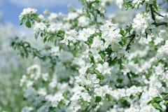 яблоко цветет белизна Красивые цветя яблони предпосылка с зацветать цветет весной день Стоковая Фотография