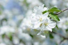 яблоко цветет белизна Красивые цветя яблони предпосылка с зацветать цветет весной день Стоковые Изображения RF