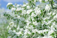 яблоко цветет белизна Красивые цветя яблони предпосылка с зацветать цветет весной день Стоковые Фотографии RF