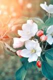 Яблоко цветет весной цветение освещенное мягким солнечным светом - предпосылкой природного источника флористической в пастельных  Стоковые Изображения RF