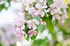 Яблоко цветет взгляд макроса ветви зацветая фруктовое дерев дерево pistil, тычинка, лепесток детализировал изображение Ландшафт п Стоковое Фото