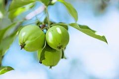 Яблоко цветет на ветви, запачканной предпосылке Стоковое Фото