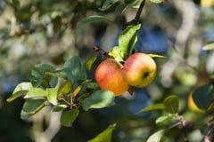 Яблоко 10 Стоковые Фото