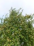 Яблок-дерево Стоковые Изображения RF