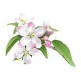 Яблок-цветение Стоковые Фотографии RF