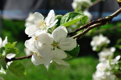 Яблок-цветения Стоковое фото RF