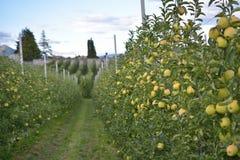 Яблоневые сады в Tuenno Стоковая Фотография
