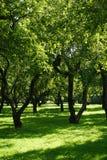 Яблоневый сад в солнечном свете (сады) Стоковое Изображение RF