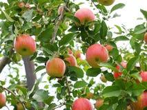 Яблоневый сад в Японии Стоковое Фото