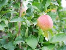 Яблоневый сад в Японии Стоковое фото RF
