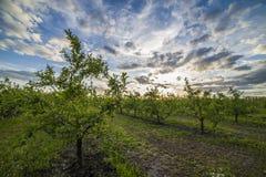 Яблоневый сад на заходе солнца Стоковое фото RF