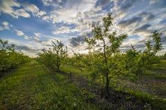 Яблоневый сад на заходе солнца Стоковые Изображения