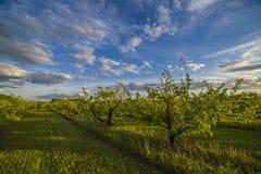 Яблоневый сад на заходе солнца Стоковое Фото