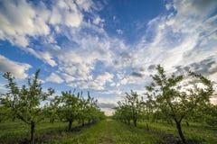 Яблоневый сад на заходе солнца Стоковое Изображение RF