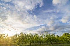 Яблоневый сад на заходе солнца Стоковое Изображение