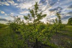 Яблоневый сад на заходе солнца Стоковая Фотография