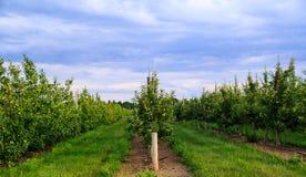 Яблоневый сад на сумраке в летнем времени Стоковое фото RF