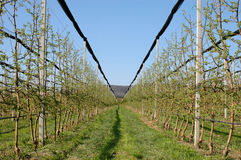 Яблоневый сад Стоковое Изображение