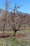 Яблоня Вашингтона Стоковая Фотография RF