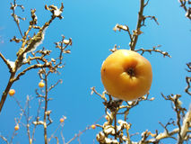 Яблоня в зиме Стоковые Фотографии RF