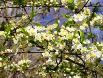Яблоня в цветени Стоковое Изображение RF