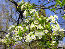 Яблоня в цветени Стоковые Фото