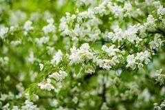 Яблоня в цветках Стоковое Фото
