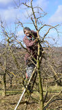 Яблоня фермера подрезая Стоковые Фото