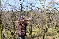 Яблоня фермера подрезая Стоковая Фотография