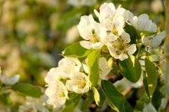 Яблоня цветения Стоковые Фотографии RF