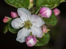 Яблоня яблони бутона Яблока Стоковое Изображение RF