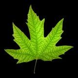 явор листьев Стоковое фото RF