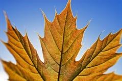 явор листьев Стоковые Изображения RF