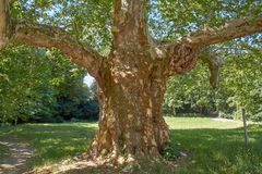 Явор чудовища, старое gigant плоское дерево стоковое изображение