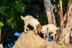 Ягниться козы младенца Стоковое Фото