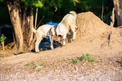 Ягниться козы младенца Стоковые Изображения RF