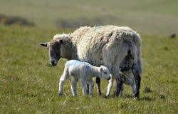 ягнит овцы Сассекс Стоковые Фотографии RF