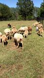ягнит овцы Стоковое Изображение