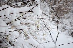 Ягода белизны зимы стоковое изображение