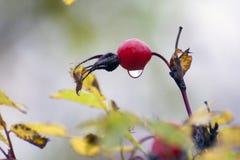 Ягода красного dogrose с дождевой каплей которая повиснула на ей Стоковые Изображения RF