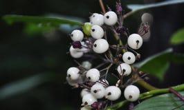 Ягода леса белая в лесе лета Стоковые Фотографии RF