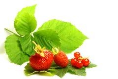 ягода одичалая Стоковое Изображение