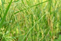 Ягода риса в ферме & x28; Тайское черное rice& x29 жасмина; Стоковое Фото