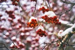 Ягода рябины покрытая с снегом Стоковое Изображение RF